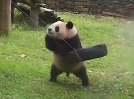 Baby Panda Habitat